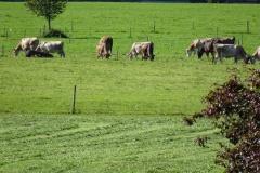 10-Aussicht-Kühe