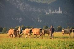 Kühe-austreiben-1