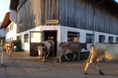 Kühe-austreiben-2
