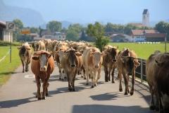 Kühe-eintreiben